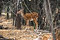 Deer in Arignar Anna Zoological Park.jpg