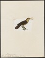Dendrocolaptes chunchotambo - 1820-1860 - Print - Iconographia Zoologica - Special Collections University of Amsterdam - UBA01 IZ19200245.tif