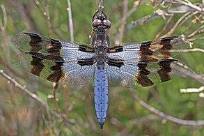 Desert Whitetail - Plathemis subornata, Bitter Lakes National Wildlife Refuge, Roswell, New Mexico - 7299714954.jpg