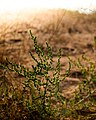 Desert plants Rak.jpg