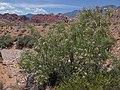 Desert willow, Chilopsis linearis ssp. arcuata (16320653914).jpg
