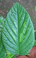 Desmodium gangeticum leaf.jpg