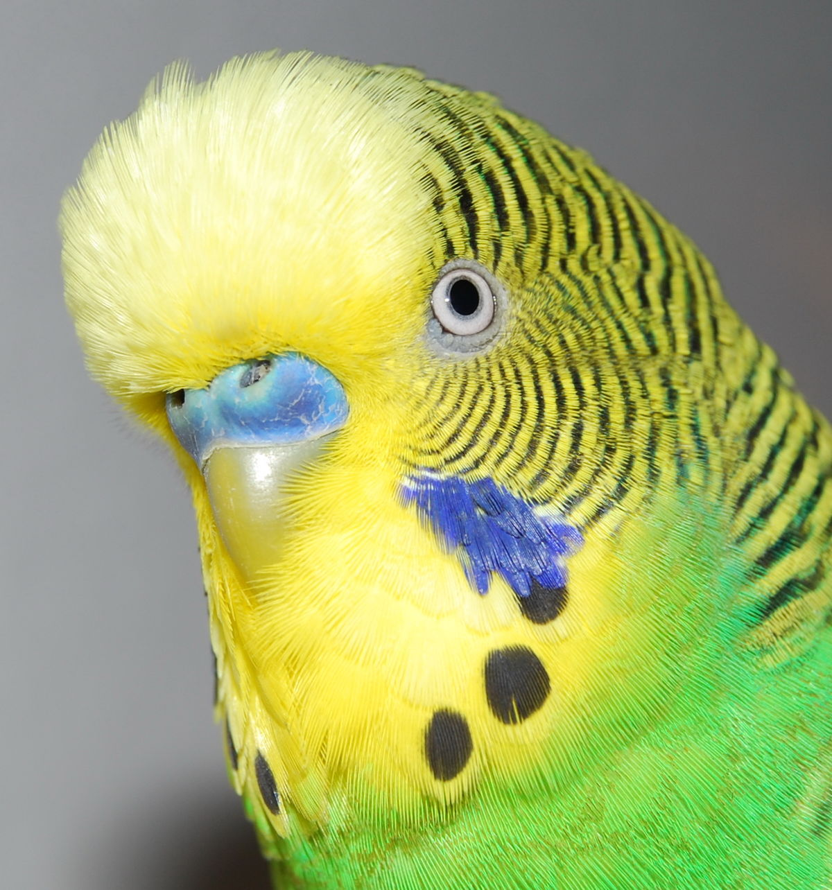 File Detail Shot Of Budgerigars Head Jpg Wikimedia Commons