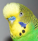Detail shot of budgerigars head.jpg