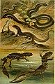 Deutschlands Amphibien und Reptilien (1890) (20267489323).jpg
