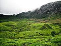 Devikulam beautiful Tea Plantations - panoramio.jpg