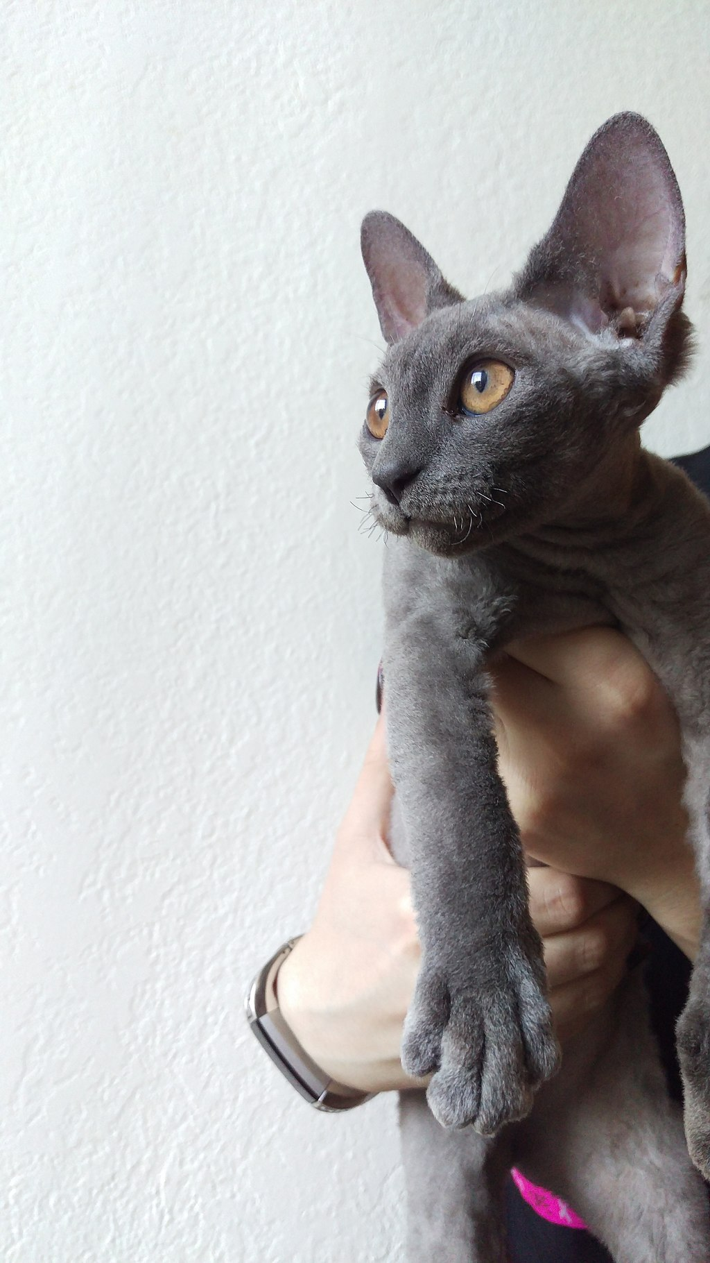 Devon rex juvenile Cat