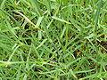 Dianthus plumarius (Caryophyllaceae) leaves.JPG