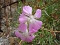 Dianthus rupicola 343.JPG