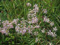 Dianthus superbus 190803