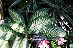 Dieffenbachia amoena - Bloedel Floral Conservatory, Queen Elizabeth Park - Vancouver, Canada - DSC07483.JPG