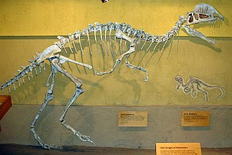 Dilophosaurus - Reconstructed skeleton at RTM (based on the holotype), with outdated (pronated) hand posture