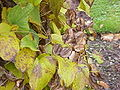 Dioscorea balcanica0.jpg