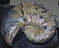 Diploscaphites sp. (fossil ammonite) (Fox Hills Formation, Upper Cretaceous, 74 Ma; Meade County, South Dakota, USA) 1 (33938521313).jpg