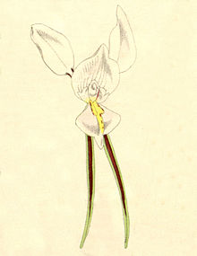 Diuris alba - Curtis' 101 - cut out from pl. 6201 (1875).jpg