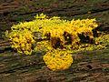 Dog Vomit Slime Mould - Flickr - treegrow.jpg