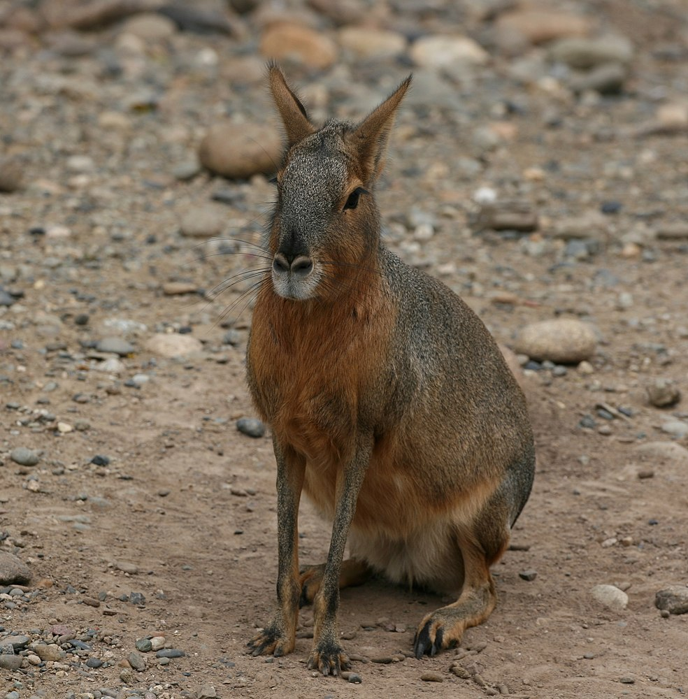 The average litter size of a Patagonian mara is 1