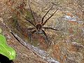 Dolomedes.orion.female.with.eggsac.-.tanikawa.jpg