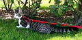 Domestic cat with harness.jpg