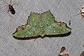 Dooabia puncicostata (Geometridae- Geometrinae) (5641263457).jpg