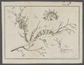 Doto coronata - - Print - Iconographia Zoologica - Special Collections University of Amsterdam - UBAINV0274 080 17 0015A.tif
