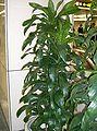 Dracaena deremensis Compacta.jpg