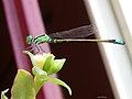 Dragon fly on a flower.jpg