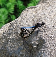 Dragonfly - couple.jpg
