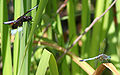 Dragonfly ran-913 Libellula luctosa & Pachydiplax longipennis.jpg