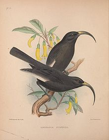 Drepanis funerea from 'The Birds of the Sandwich Islands'.jpg