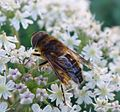 Drone-fly. Eristalis pertinax - Flickr - gailhampshire (1).jpg
