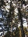 Drveće u parku Svetog Save u Nišu (15).jpg