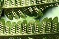 Dryopteris goldiana CR-0958.jpg
