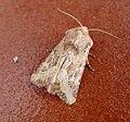 Dumeril's Rustic - Luperina dumerilii. (32905918733).jpg