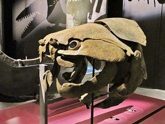 Dunkleosteus - D. marsaisi skull