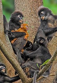 Lutung Genus of Old World monkeys