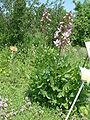 Dyptam jesionolistny Dictamnus albus.jpg