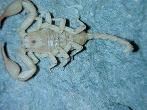Euscorpius - Euscorpius balearicus is a very pale species
