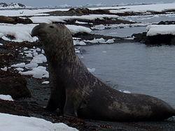 פיל ים דרומי בחופי אנטארקטיקה