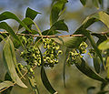 Earpod Wattle (Acacia auriculiformis) leaves & green fruit pods in Kolkata W IMG 4471.jpg