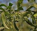 Earpod Wattle (Acacia auriculiformis) leaves & green fruit pods in Kolkata W IMG 4471.jpg