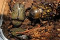 Eastern Hercules Rhinoceros Beetles adults from North Carolina.jpg
