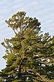 Eastern White Pine (Pinus strobus) - Killarney, Ontario 01.jpg