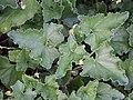 Ecballium elaterium Tryskawiec sprężysty 2018-09-02 04.jpg