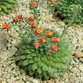 Echeveria setosa-IMG 1622.jpg
