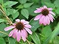 Echinacea purpurea 4503.jpg
