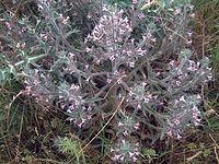 Echium asperrimum habitusCanadaCalatrava
