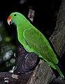 Eclectus roratus Male Papua New Guinea by Nick Hobgood.jpg