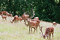 Edelhert Rothirsch Red Deer (24811531768).jpg