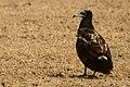 Egyptian vulture Juv jorbeed bikaner JEG4427 a.jpg